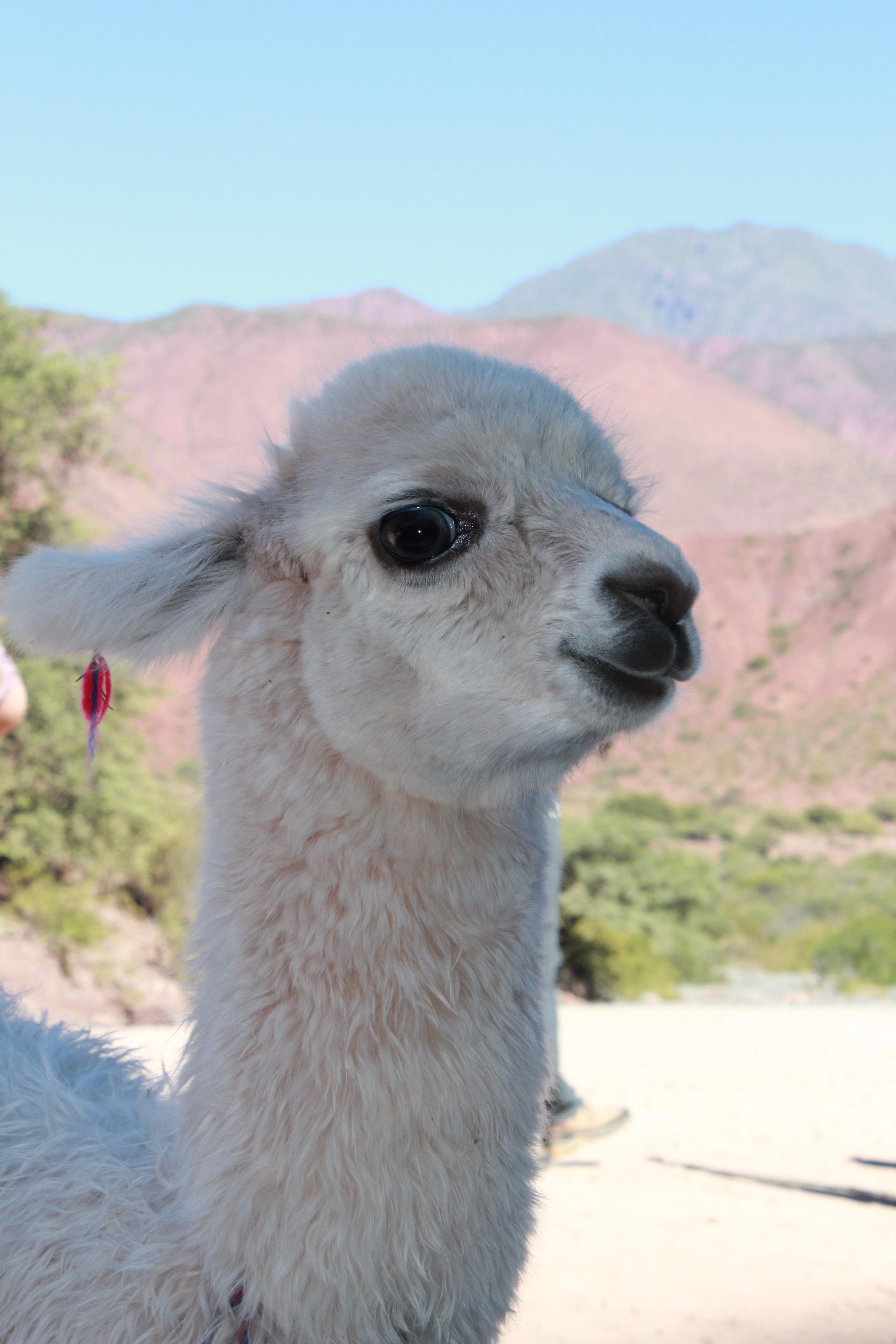 Displaying 19> Images For - Cute Llamas...