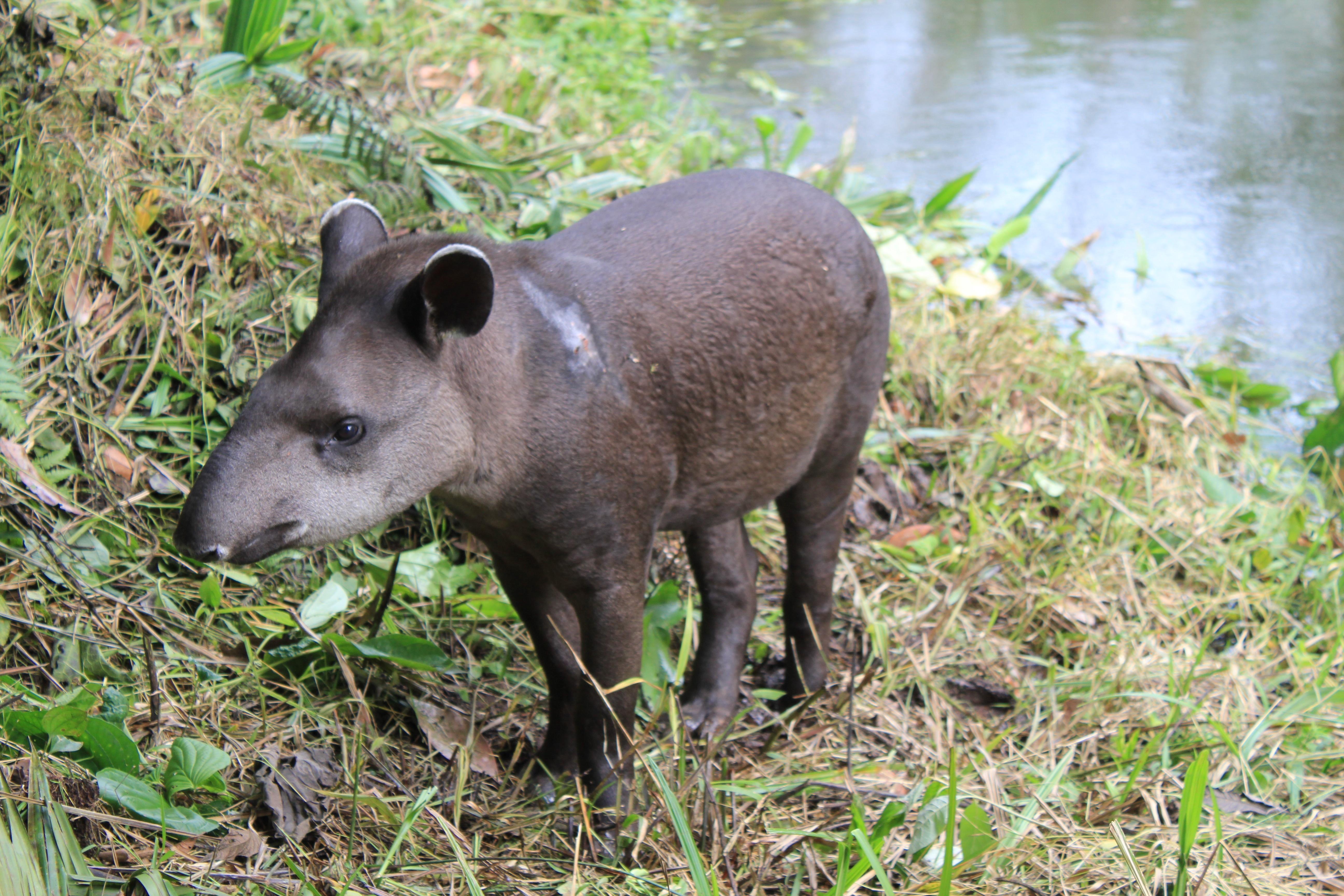 Animals of the Amazon Rainforest Tapir Eyediscover