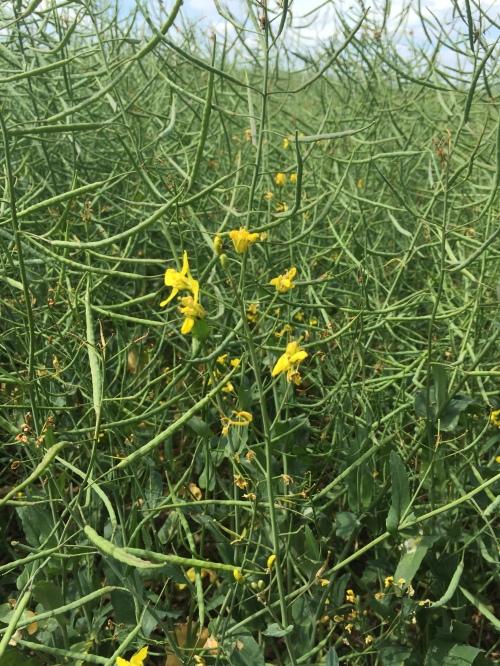 rapeseed field3